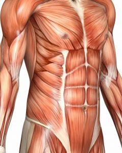 anatomija-trebusne-misice-hujsanje